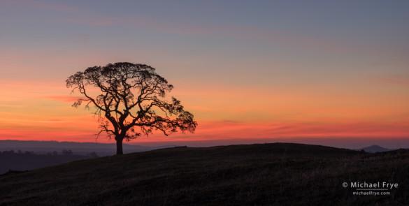 Blue oak at sunrise, Sierra Nevada foothills, Mariposa County, CA, USA