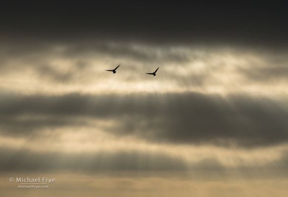 Sunbeams and clouds with Ross's geese, San Joaquin Valley, CA, USA