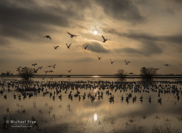 Ross's geese taking flight, late afternoon, San Joaquin Valley, CA, USA