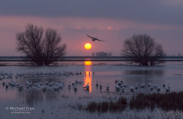 Ross's geese at sunset, San Joaquin Valley, CA, USA