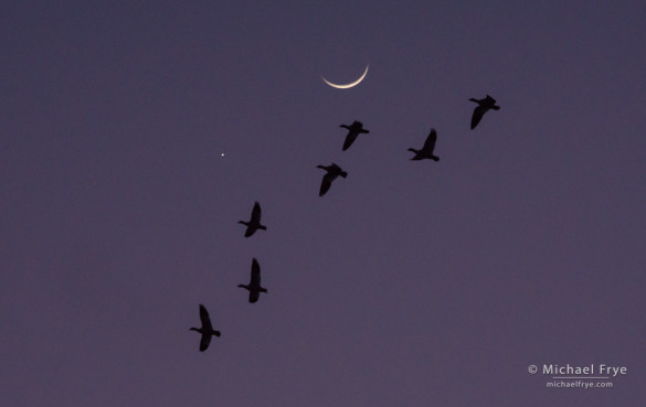 Moon, Venus, and Ross's geese, San Joaquin Valley, CA, USA