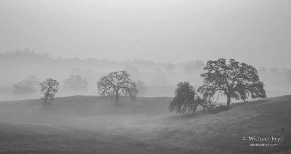 Blue oaks in fog 1, Sierra Nevada foothills