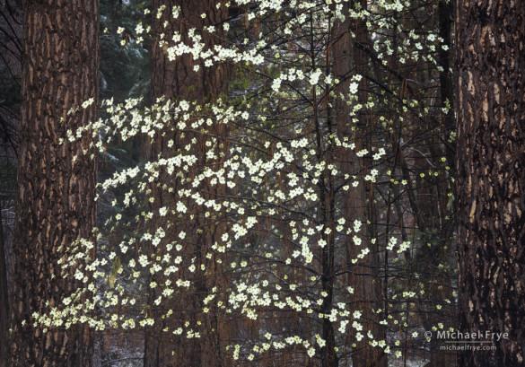 Dogwood and ponderosa pines, Yosemite NP, CA, USA