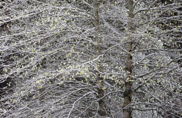 Snow-covered dogwood, Yosemite NP, CA, USA