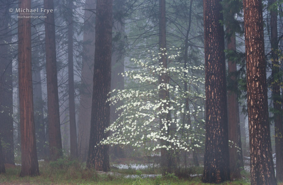 Dogwoods, mist, and ponderosa pines, Yosemite NP, CA, USA