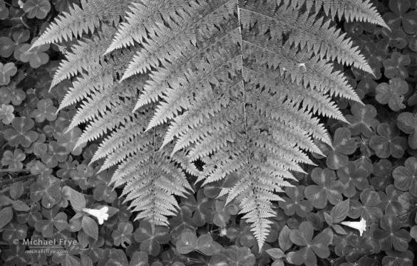 Ferns, redwood sorrel, and monkeyflowers, Del Norte Redwoods SP, CA, USA