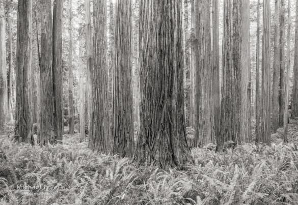 Redwoods and ferns, Jedediah Smith Redwoods SP, CA, USA