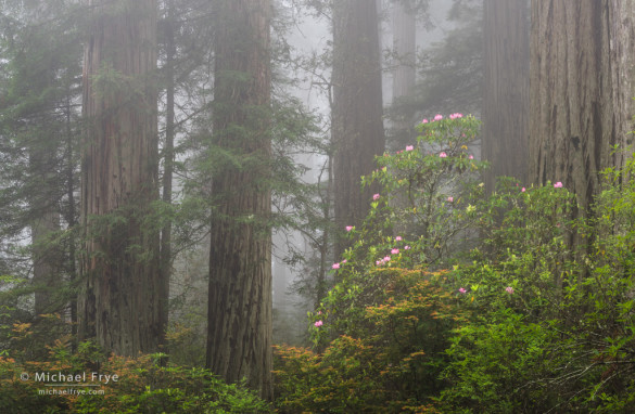 Redwoods and rhododendrons in the fog, Del Norte Redwoods SP, CA, USA