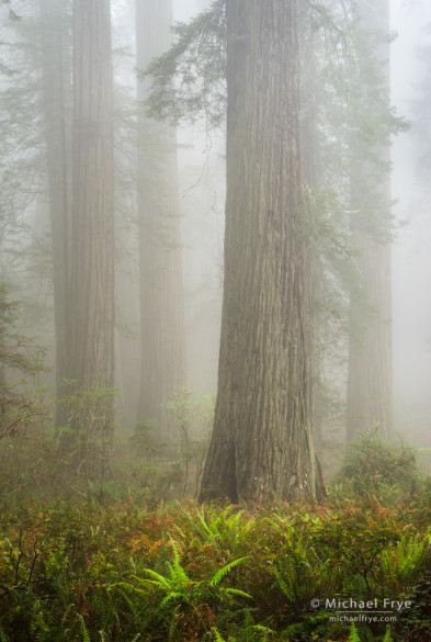 Ferns and redwoods on a foggy morning, Del Norte Redwoods SP, CA, USA