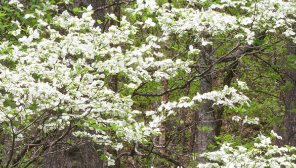 A 100% or 1:1 view of the center of the dogwood photograph