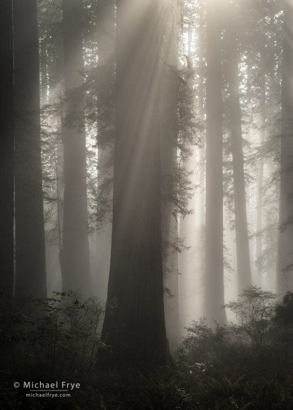 Sunbeams in a redwood forest along the Northern California coast
