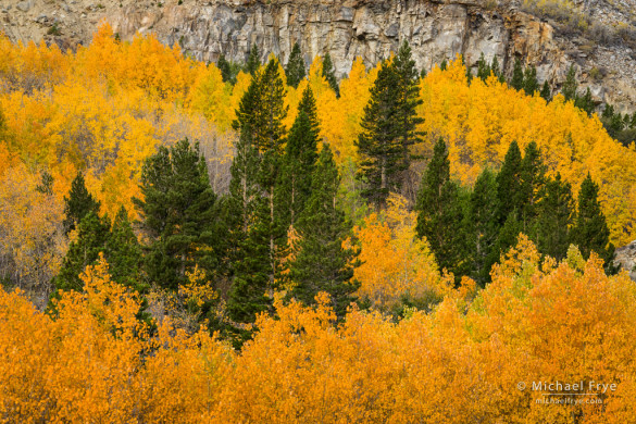 Aspens and lodgepole pines, Lee Vining Canyon, Inyo NF, CA, USA