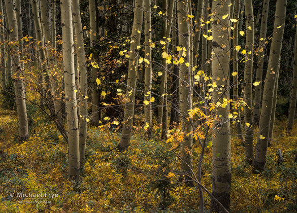 Aspens and maple, San Juan Mountains, Uncompahgre NF, CO, USA