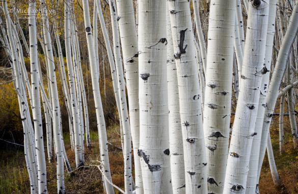Aspen trunks near Telluride, CO, USA