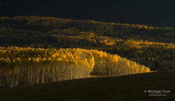 Sunlight on aspens, Umcompahgre NF, CO, USA