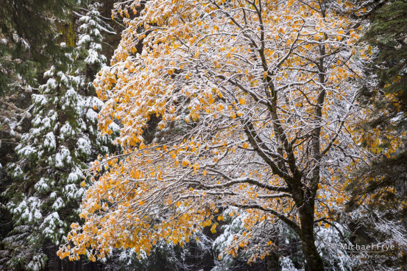 Snow-covered California black oak, late autumn, Yosemite NP, CA, USA