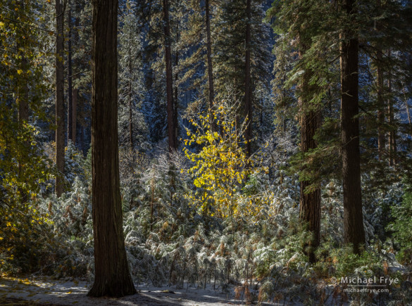 Lone autumn maple among snow-covered incense cedars and ponderosa pines, Yosemite NP, CA, USA