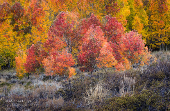 Aspens and sagebrush, autumn, Inyo NF, CA, USA