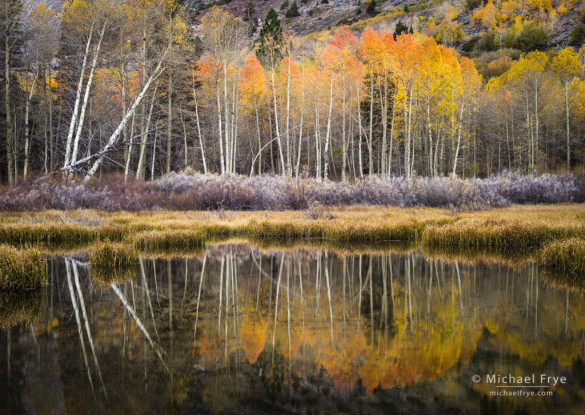 Aspens reflected in a beaver pond, Inyo NF, CA, USA