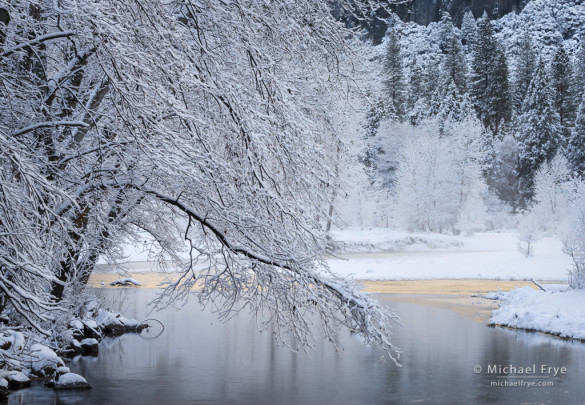 Alders along the bank of the Merced River after a snowstorm, Yosemite NP, CA, USA