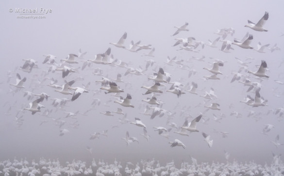 Ross's geese taking flight in the fog, San Joaquin Valley, CA, USA