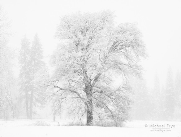 Oak and pines in snowstorm, Yosemite NP, CA, USA