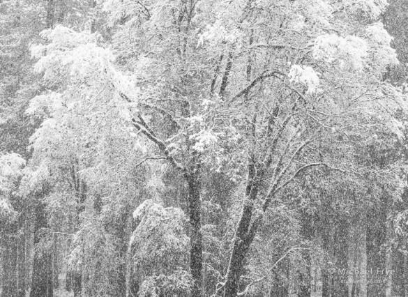 Oak tree with falling snow, Yosemite NP, CA, USA