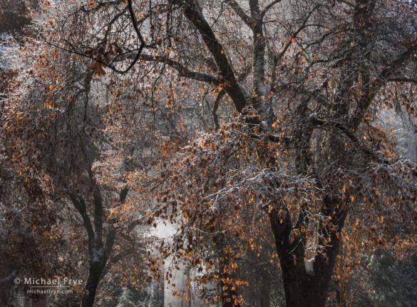 California black oaks with snow and mist, Yosemite NP, CA, USA