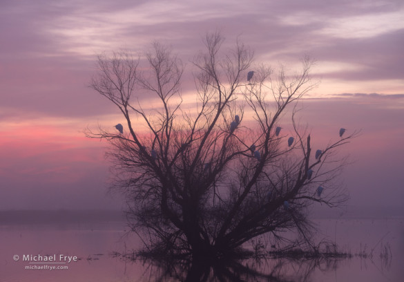 Great egrets roosting in a willow at sunrise, San Joaquin Valley, CA, USA
