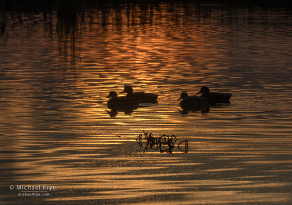 American wigeons at sunset, San Joaquin Valley, CA, USA