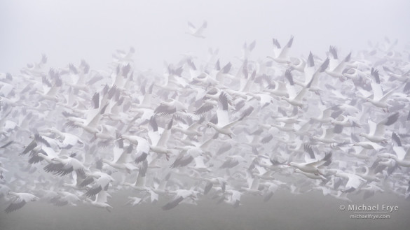 Ross's geese taking flight in fog, San Joaquin Valley, CA, USA