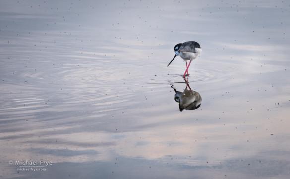 Black-necked stilt feeding on insects, San Joaquin Valley, CA, USA