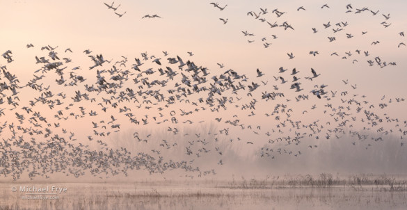 Ross's geese taking flight at sunrise, San Joaquin Valley, CA, USA