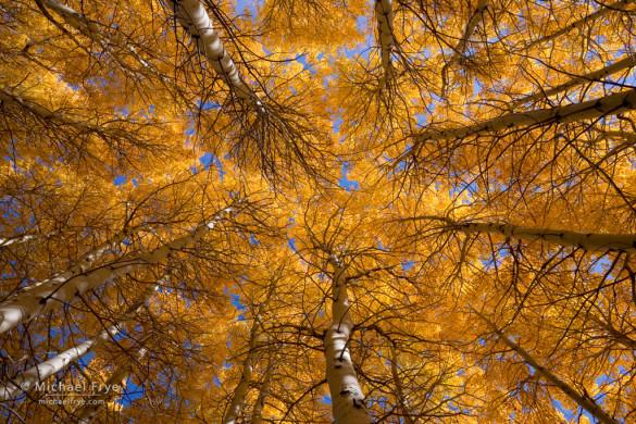 Aspen grove, June Lake Loop, Inyo NF, CA, USA