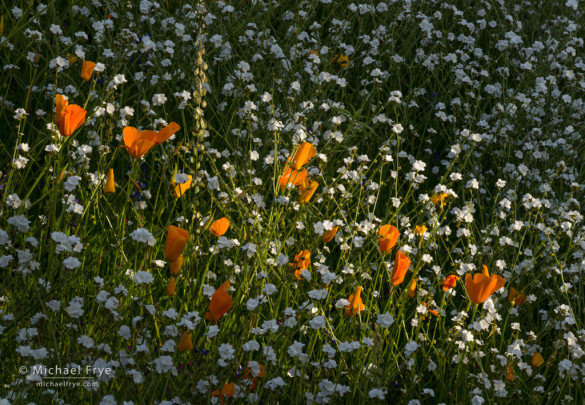 Poppies and popcorn flowers, Sierra NF, CA, USA