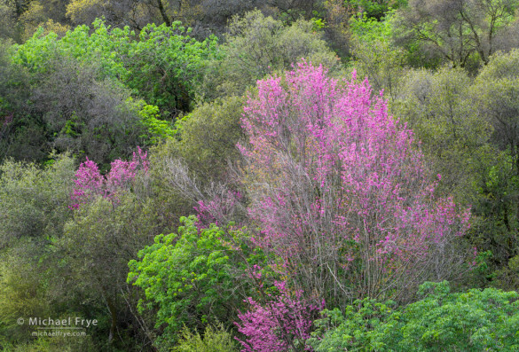Redbuds in the Sierra Nevada foothills, Mariposa Country, CA, USA