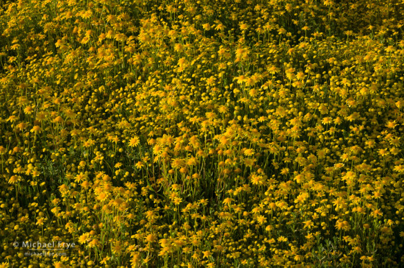 Goldfields and other yellow composites in a vernal pool, San Joaquin Valley, CA, USA