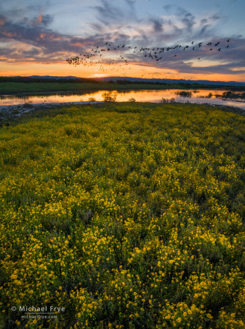 White-faced ibises, goldfields, and a vernal pool at sunset, San Joaquin Valley, CA, USA