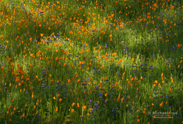 Poppies and lupines in dapples light, Merced River Canyon, CA, USA