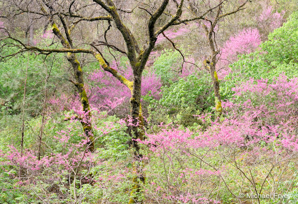Redbud and oaks, spring 2007