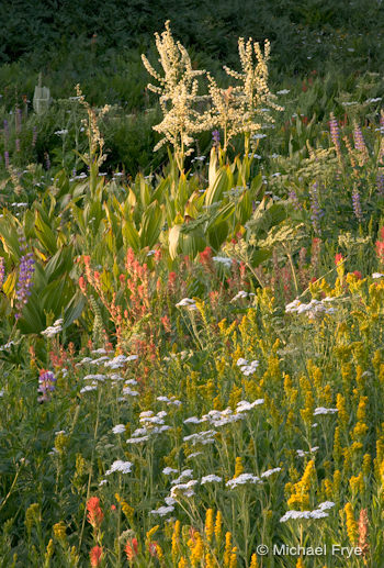 Yarrow, paintbrush, goldenrod, lupine, and corn lilies photographed last summer near the Glacier Point Road