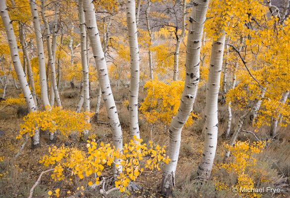 Late-October aspens, June Lake Loop