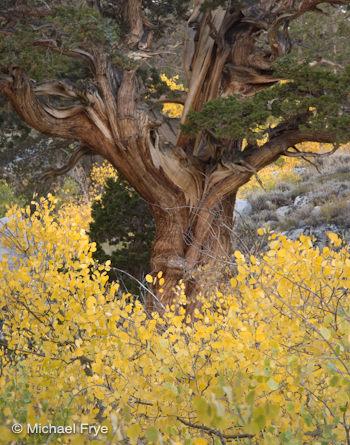 Aspens and Juniper, Rock Creek Canyon