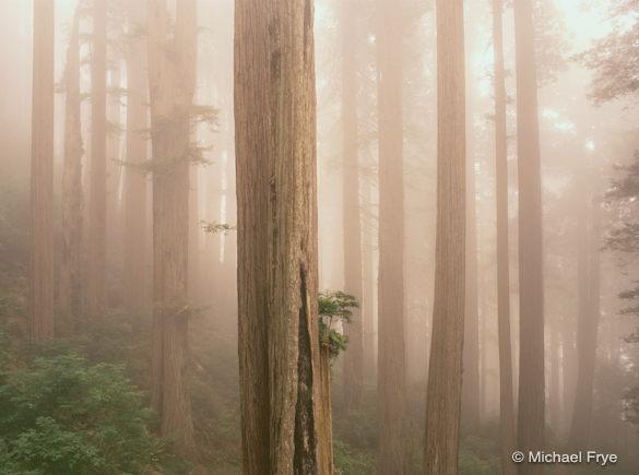 Redwoods in Fog, Del Norte State Park, California