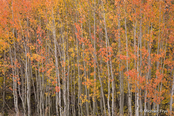 Multi-colored aspen leaves