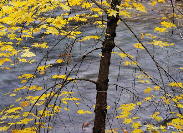 Big-leaf maple... from a few years ago