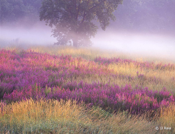 """Meadow of Loosestrife"" by JJ Raia"