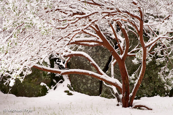 Snow-covered manzanita