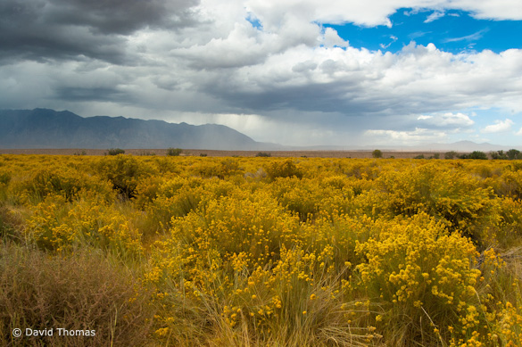"""Storm and Rabbitbrush"" by David Thomas"