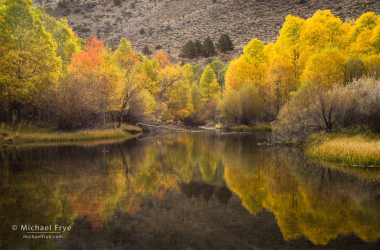 Aspens along a creek in the eastern Sierra Nevada, CA, USA